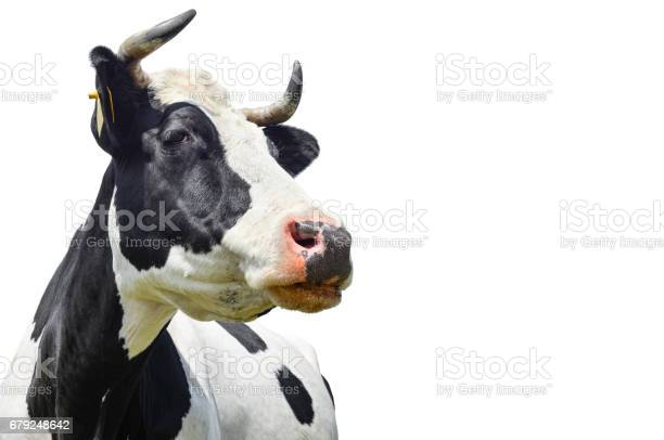 Spotted black and white cow isolated on white picture id679248642?b=1&k=6&m=679248642&s=612x612&h=ax9 dqvm pfs0dtzay77yw20krgby1k6t6wnhzti3l0=
