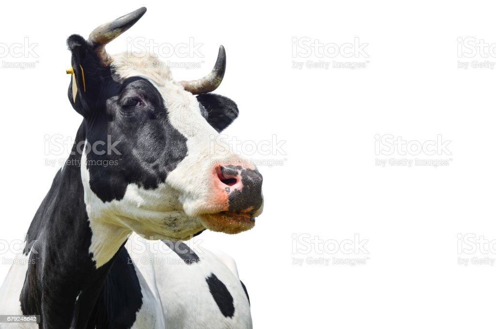 Spotted black and white cow isolated on white stock photo