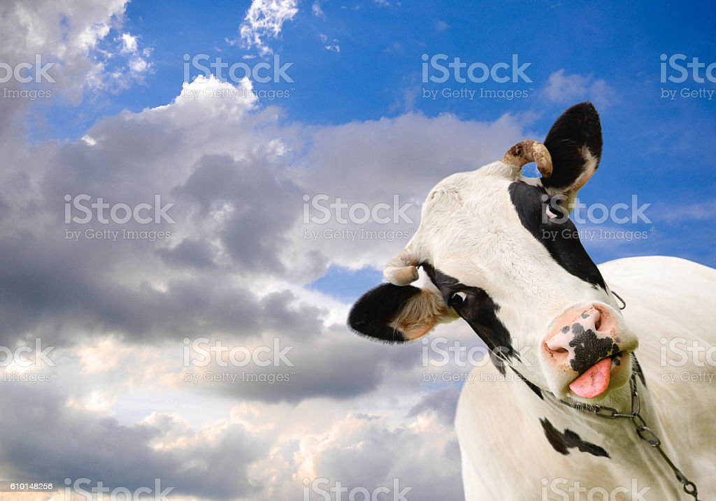 Spotted black and white cow stock photo