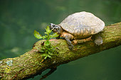 Spotted Black pond turtle(Geoclemys hamiltonii )  resting above the water surface.