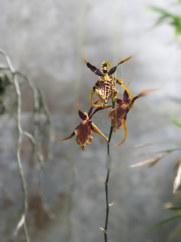 This is a spotted brassia ( orchid)