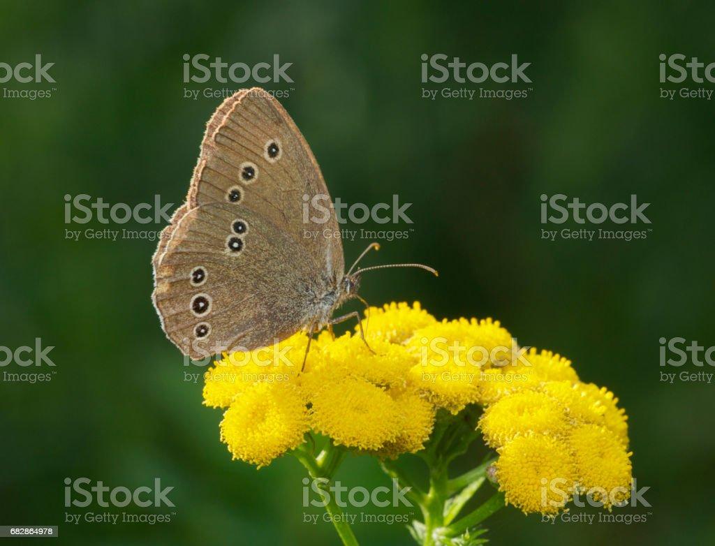 Spotted Brown Butterfly Lizenzfreies stock-foto