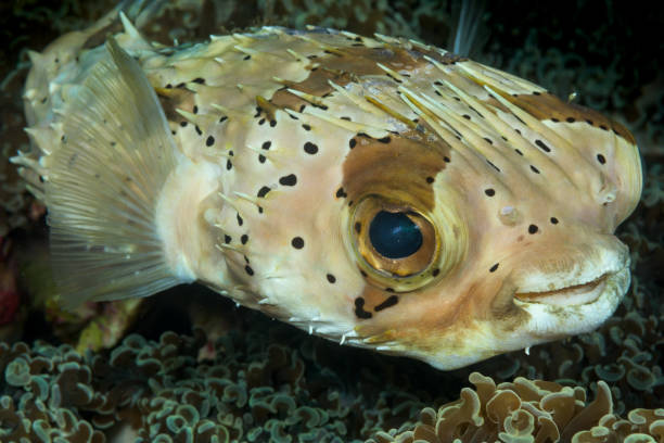 spotted burrfish fish stock photo