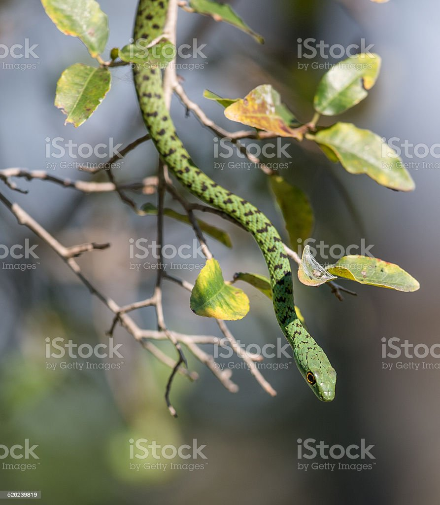 Spotted Bush Snake Slithers out of a Tree stock photo