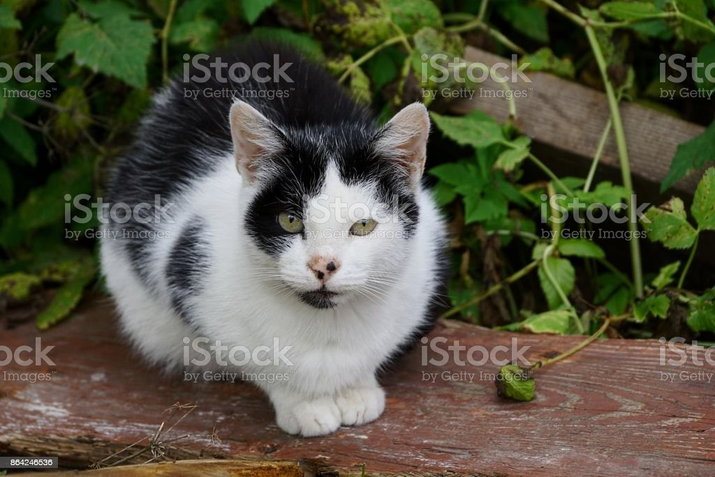Spotted cat sits on a wooden plank in the grass and looks royalty-free stock photo