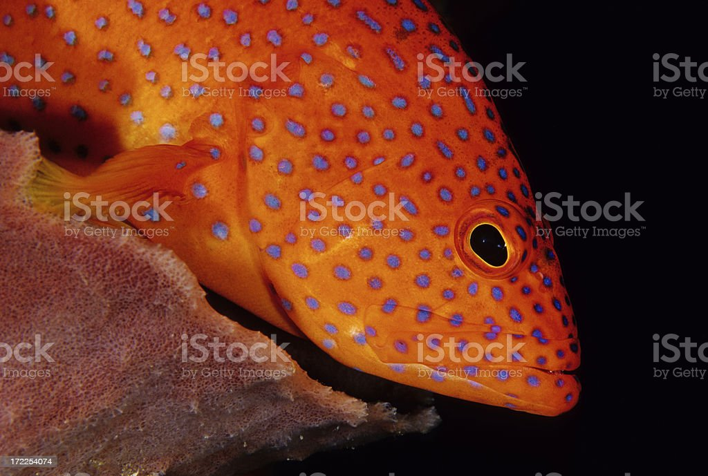 Spotted Coral Cod royalty-free stock photo