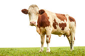 Spotted cow standing on lush green grass in Austrian Alps and facing camera on white background.