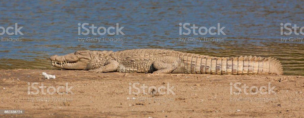 Spotted Crocodile, Sarikska, India stock photo