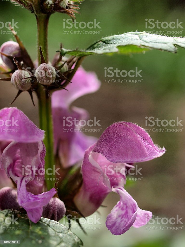 Spotted Dead Nettle stock photo