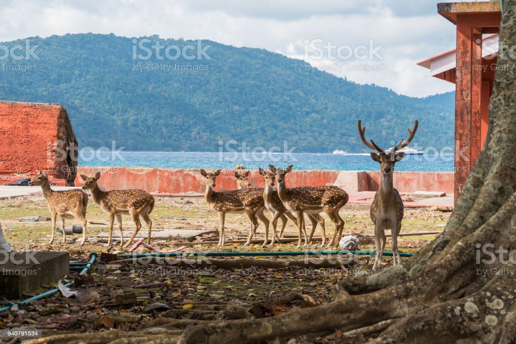 Spotted deer at Ross island, stock photo