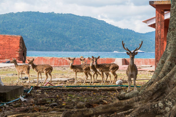 Spotted deer at Ross island, Spotted deer at Ross island, Andaman and Nicobar. Deer walking around the island on the background of the sea axis deer stock pictures, royalty-free photos & images