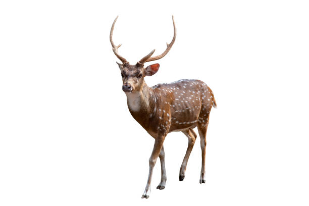 Spotted deer isolated on white background Spotted deer isolated on white background axis deer stock pictures, royalty-free photos & images