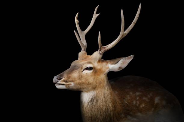 Gefleckte Hirsche oder Chitals Porträt auf schwarzem Hintergrund mit Clipping-Pfad. Tier- und Tierfoto – Foto