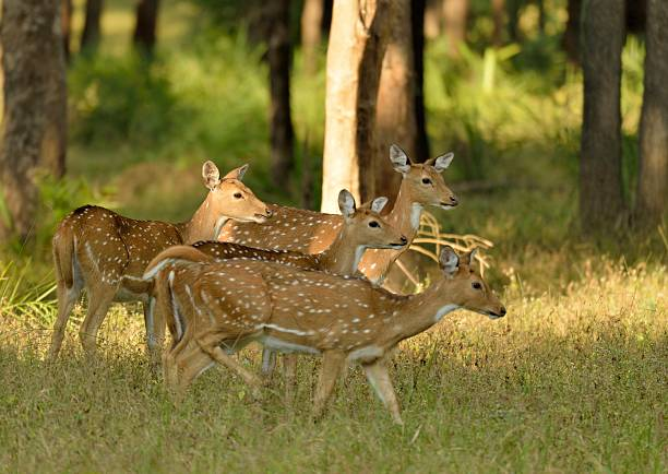 Spotted Deer a small herd of Chital Deer are on alert in Kanha National Park, India axis deer stock pictures, royalty-free photos & images