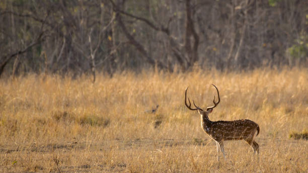 Spotted Deer spotted something This photo was taken at Tadoba, Maharashtra, India axis deer stock pictures, royalty-free photos & images