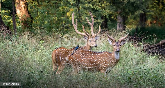 istock Spotted Deer with bird on back, 1202358369