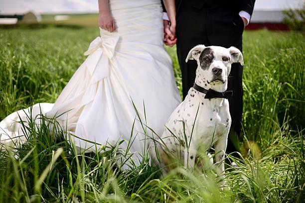 Spotted dog attends a wedding as best man picture id467184650?b=1&k=6&m=467184650&s=612x612&w=0&h=9tggdvluzxjv7ai9kszjjj5itmkhks sicu8xictuxc=