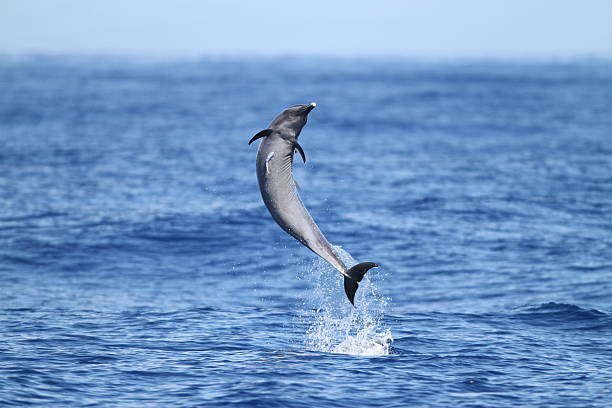 Spotted Dolphin Jumping stock photo