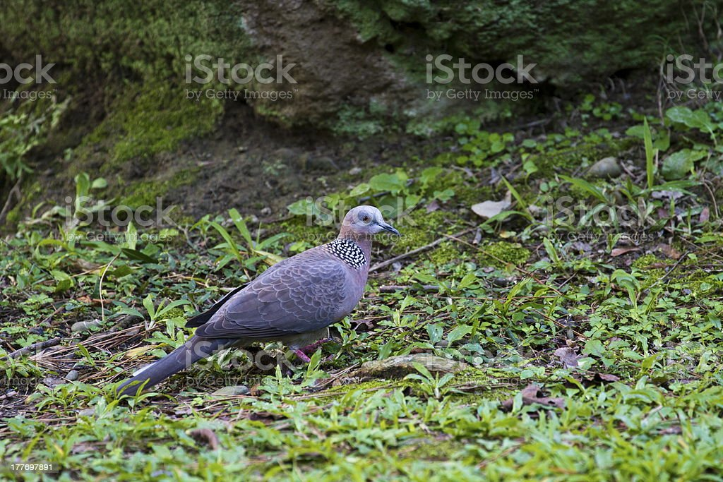 Spotted Dove,Streptopelia chinensis royalty-free stock photo