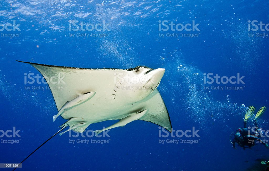 Spotted Eagle Ray and Remoras royalty-free stock photo