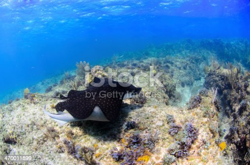 A spotted eagle ray gliding above coral heads.
