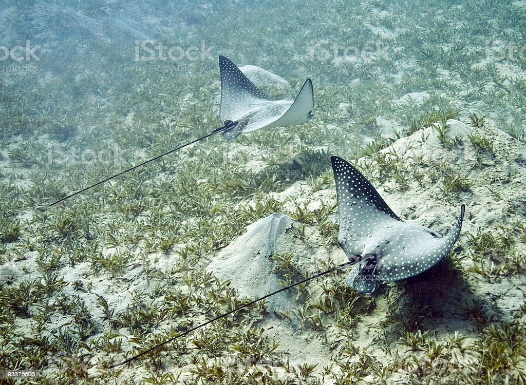 spotted eagle ray royalty-free stock photo