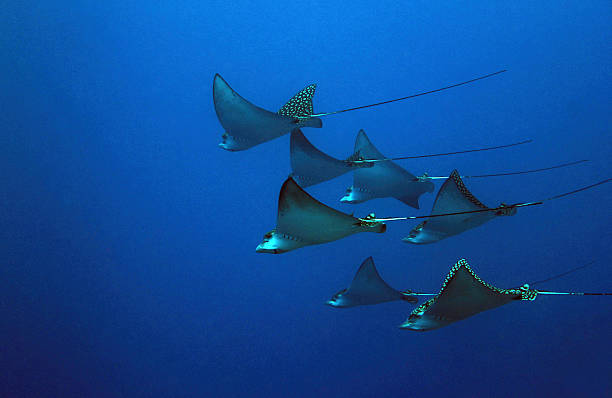 Spotted Eagle Rays stock photo