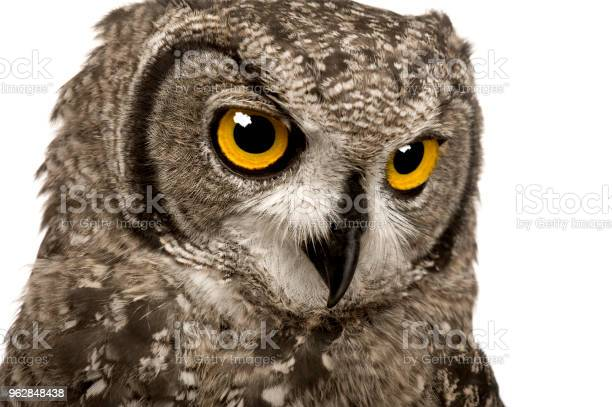 Spotted eagleowl bubo bubo in front of a white background picture id962848438?b=1&k=6&m=962848438&s=612x612&h=n2dndvtvvore k9s28qj t9wr63fgpnuv7yt2eg nq0=