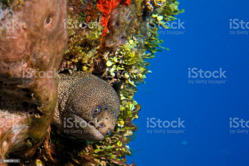 Spotted Eel 2 - Cozumel, Mexico stock photo