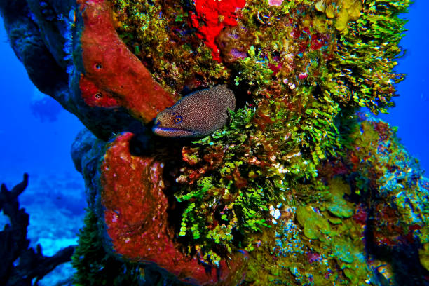 Spotted eel coming out of his home in the coral, found while scuba diving in Cozumel, Mexico. stock photo