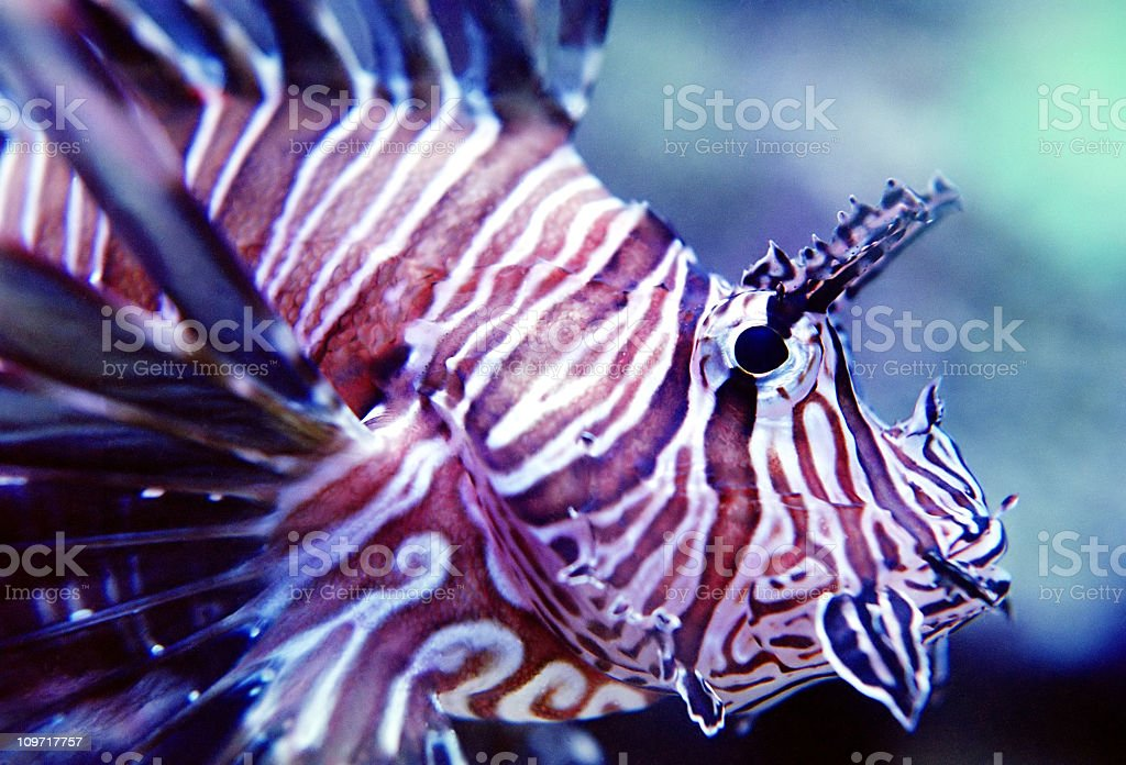 Spotted Fin Lion Fish 02 royalty-free stock photo