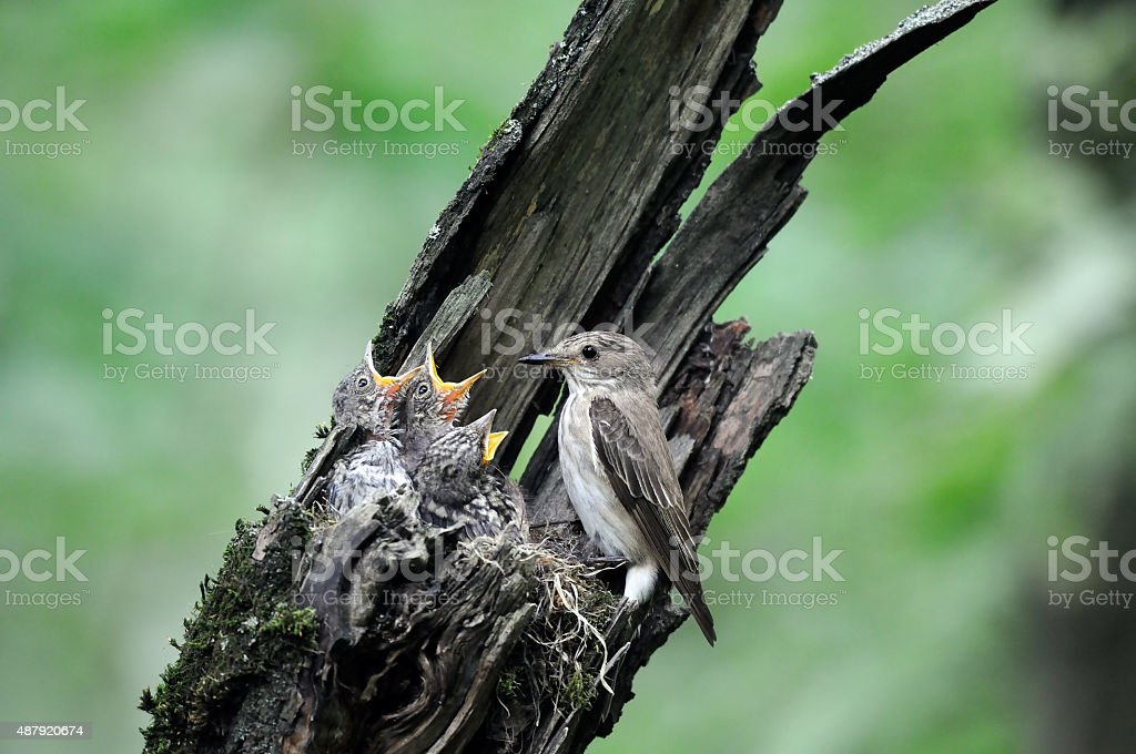 Spotted Flycatcher at the nest with chicks stock photo