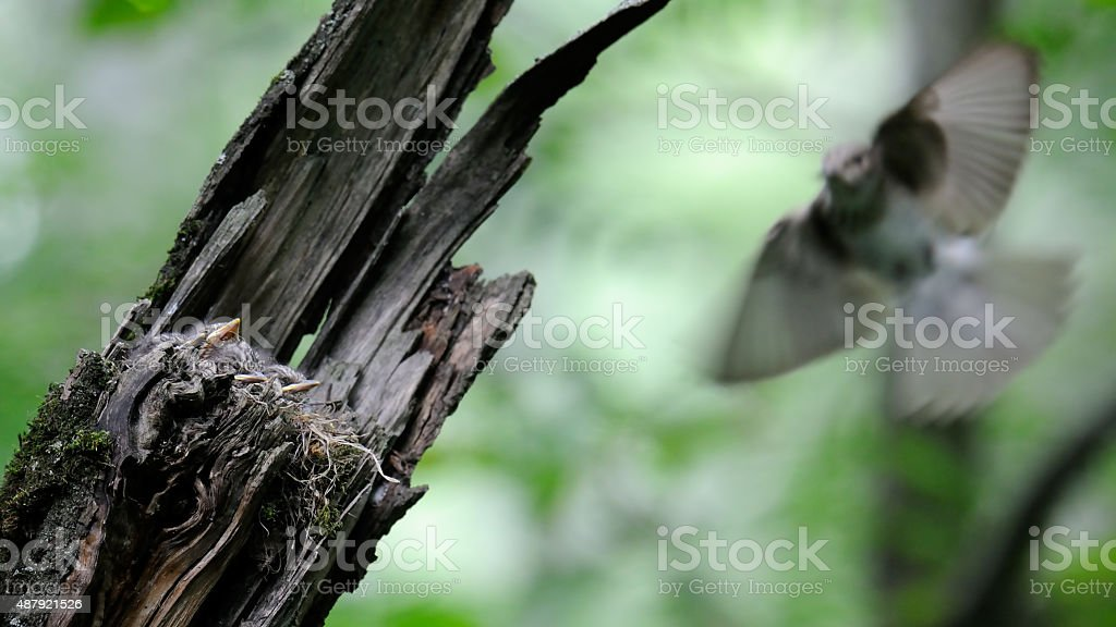 Spotted Flycatcher flies to the nest with chicks stock photo