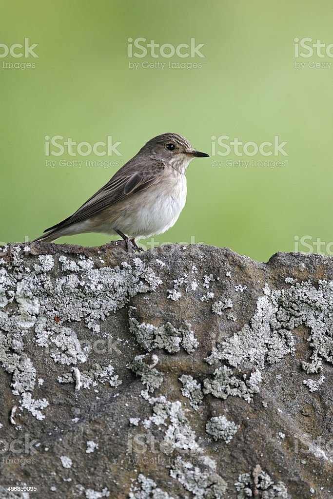 Spotted flycatcher, Muscicapa striata, royalty-free stock photo