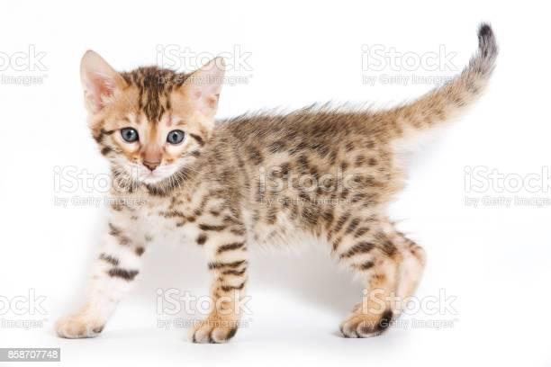 Spotted ginger kitten bengal picture id858707748?b=1&k=6&m=858707748&s=612x612&h=9udh u8pzhmw9g rvdbzbjg6k4uzej 2ajt93optzuy=