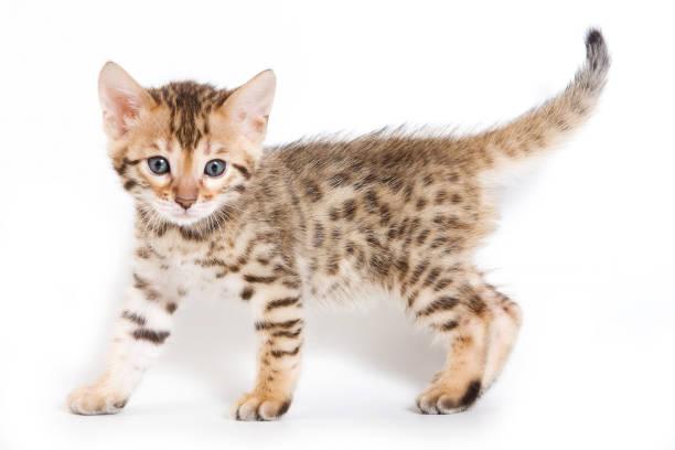Spotted ginger kitten bengal picture id858707748?b=1&k=6&m=858707748&s=612x612&w=0&h=fezpifj0qs4z93coj pznh0lbgfjjsss99fndtmcp2w=