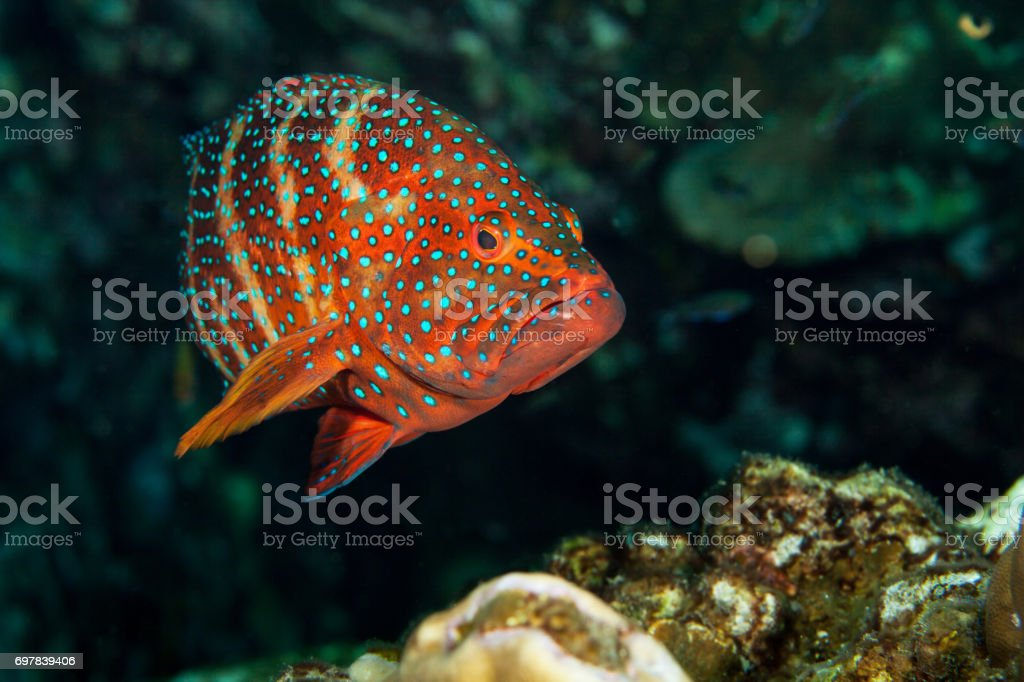 Spotted grouper close-up. Similan islands. Andaman sea. Thailand. stock photo