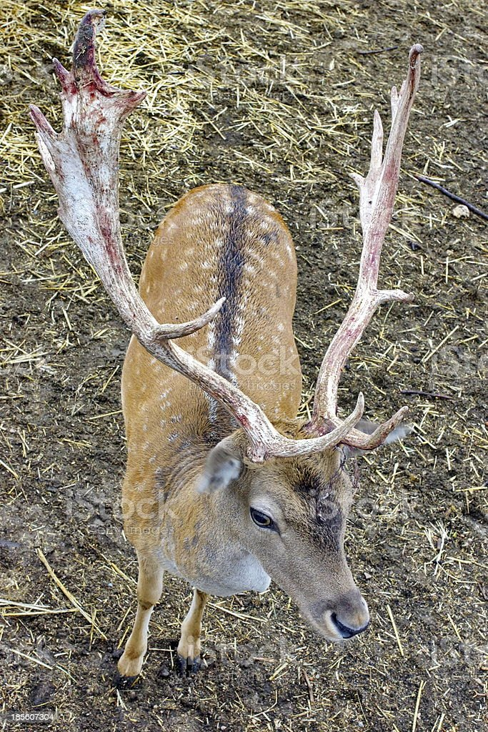 Spotted horned Deer. royalty-free stock photo