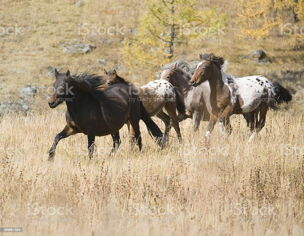 Spotted horse and herd royalty-free stock photo