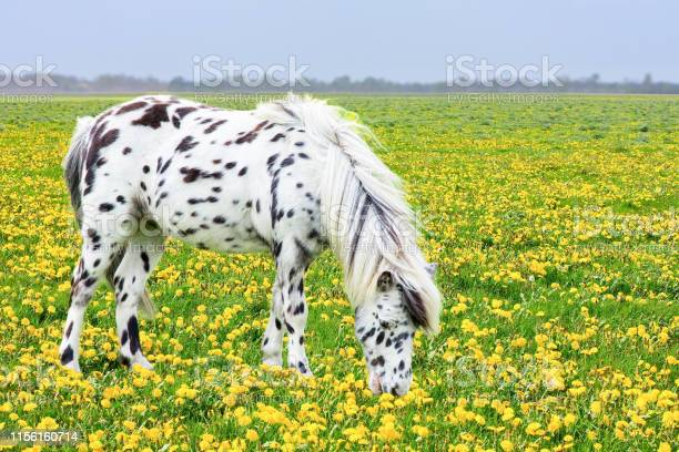 Spotted horse grazing in blooming flower meadow picture id1156160714?b=1&k=6&m=1156160714&s=612x612&h=yg1rox 7z0mfpi k1psida4b6qky35gi9 gz0kcjk9y=