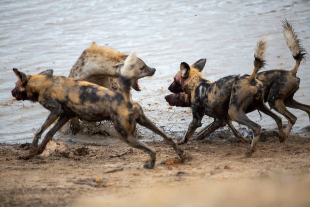 A spotted hyaena and Wild dogs fighting over a kill – zdjęcie