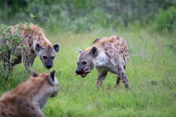Spotted hyaena feeding – zdjęcie