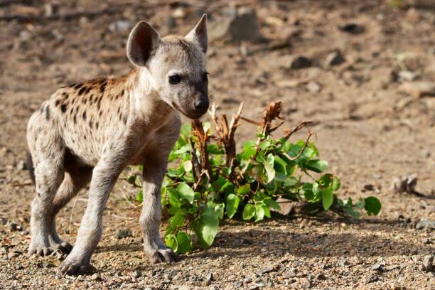 spotted hyaena in Kruger national park stock photo