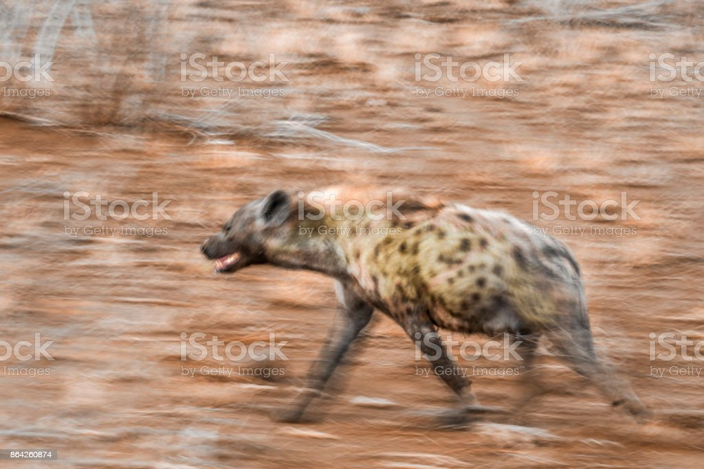 Spotted hyaena in Kruger National park, South Africa royalty-free stock photo