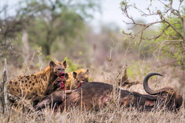 gevlekte hyaena in kruger national park, zuid-afrika - hyena stockfoto's en -beelden