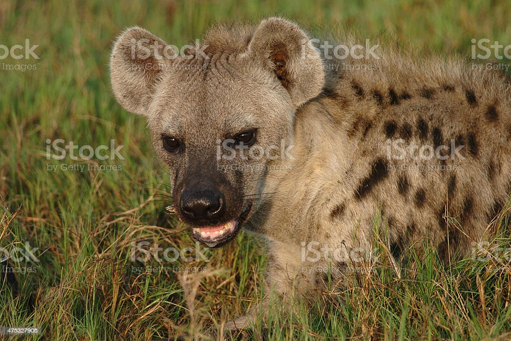 Spotted Hyaena looking at viewer stock photo