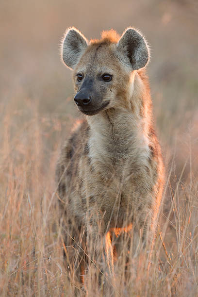 Spotted Hyaena, (Crocuta crocuta), South Africa Spotted Hyaena, (Crocuta crocuta) in South Africa's Kruger Park in the early morning light. transvaal province stock pictures, royalty-free photos & images