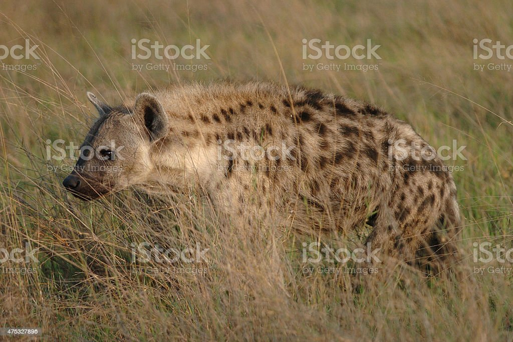 Spotted Hyaena walking stock photo