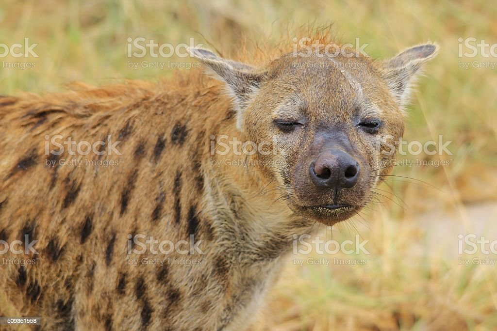 Spotted Hyena African Predators Scars Of Life Stock Photo & More ...