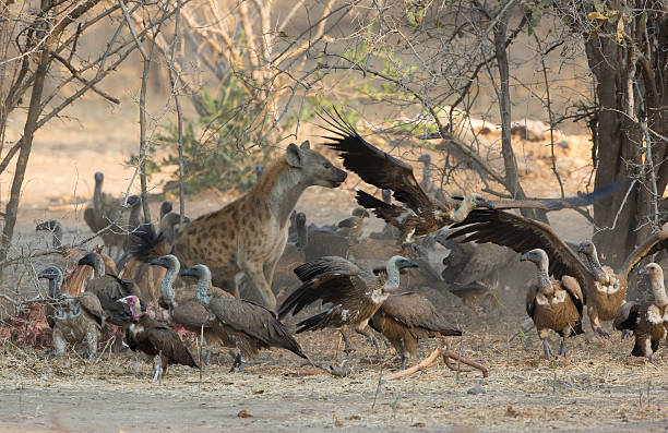 Spotted Hyena (Crocuta crocuta) amongst White-backed Vultures (Gyps africanus) Spotted Hyena (Crocuta crocuta) amongst White-backed Vultures (Gyps africanus) chasing them off a kill feeding frenzy stock pictures, royalty-free photos & images